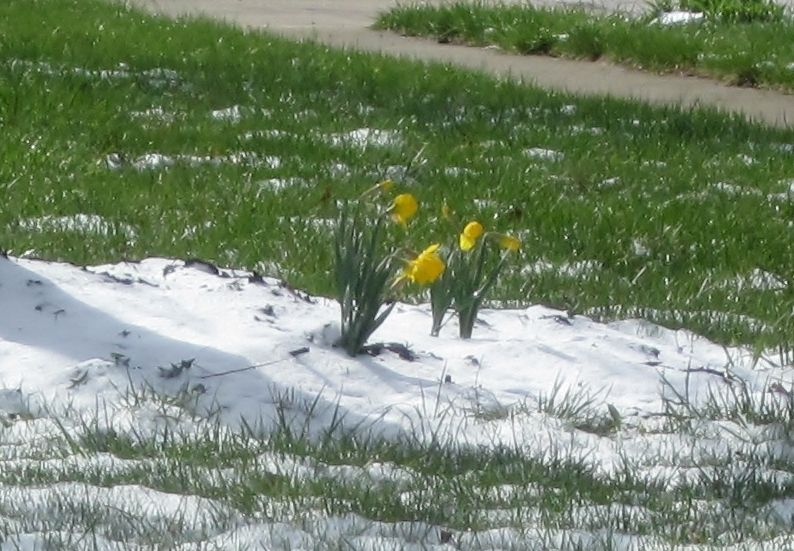 sad cold daffodils